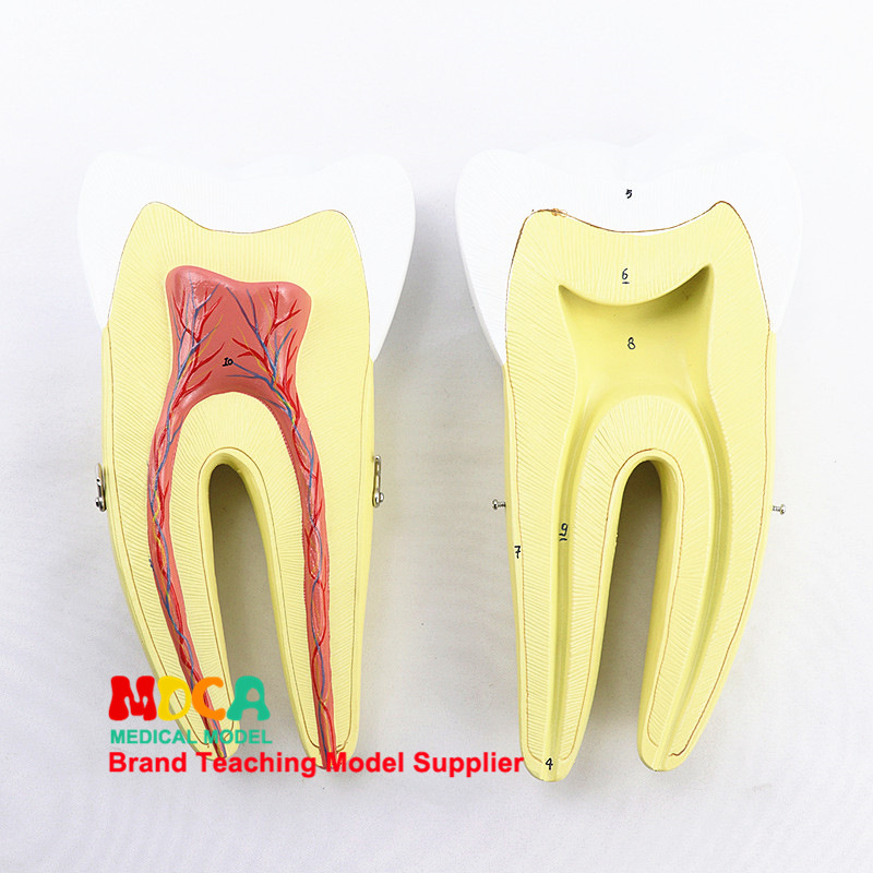 Human Molar Model Dental Demonstration Tooth Vascular Nerve Medical Teaching Model 2 Parts