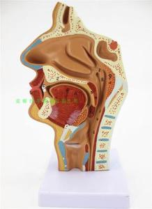 Image 1 - 鼻腔、口腔、喉頭、咽頭モデル鼻腔縦断面モデル人間鼻腔矯正解剖
