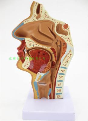 鼻腔、口腔、喉頭、咽頭モデル鼻腔縦断面モデル人間鼻腔矯正解剖