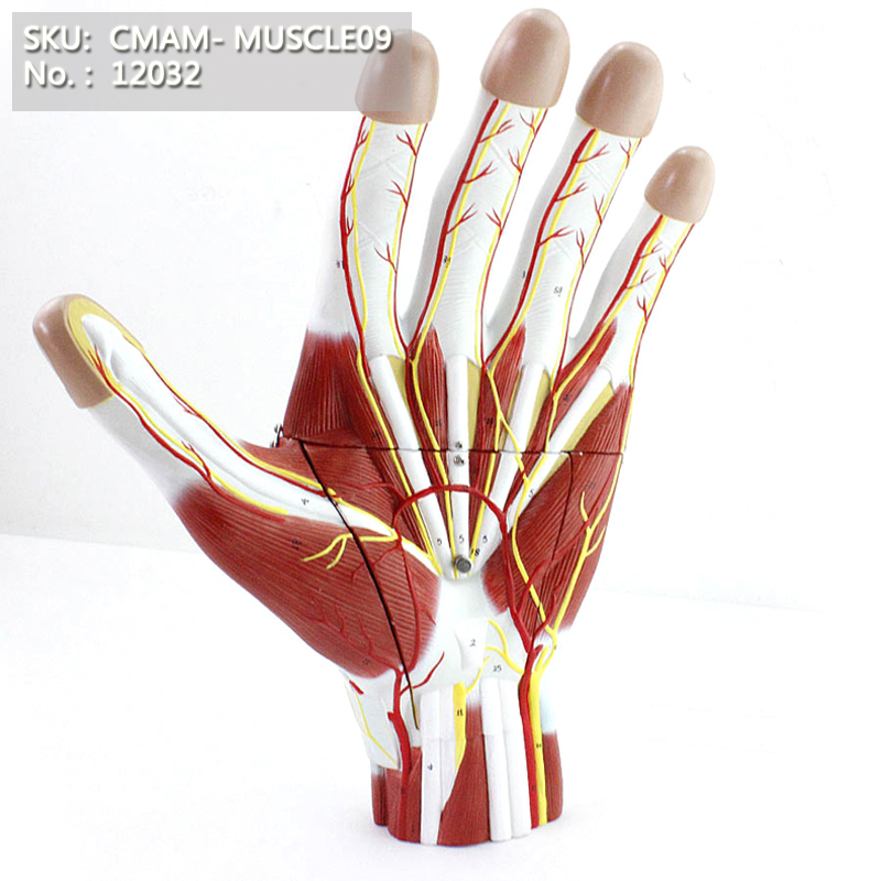 нервы руки человека - CMAM/12032 Muscles of Hand - 2 Parts, 3x, Plastic Human Body Muscle Teaching Anatomical Model