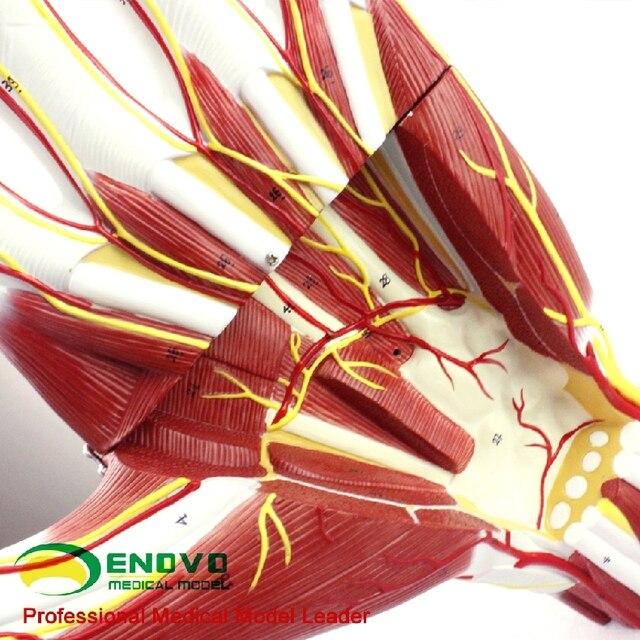 Ampliada 2 veces 48*28*10 Médicos Palma anatomía conjunta mano y ...