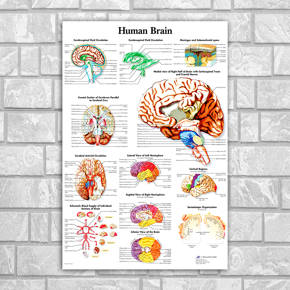 Human Anatomy Brain Poster Canvas Painting Wall Art Posters And ...