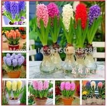 Hyacinth seeds,Free shipping cheap perfume Hyacinth seeds, mixing different varieties – 100 Hyacinthus Orientalis seeds