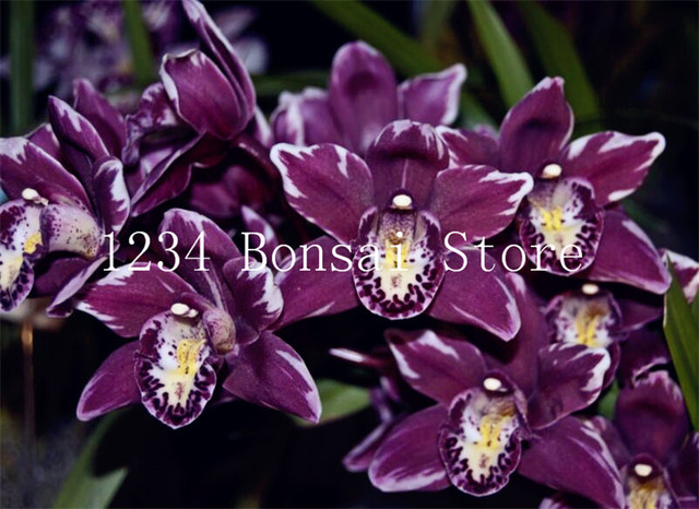 Sale! 100 pcs Cymbidium Bonsai Perennial Phalaenopsis Orchid Flower plants Garden Bonsai Planting Rare Butterfly Orchids plants