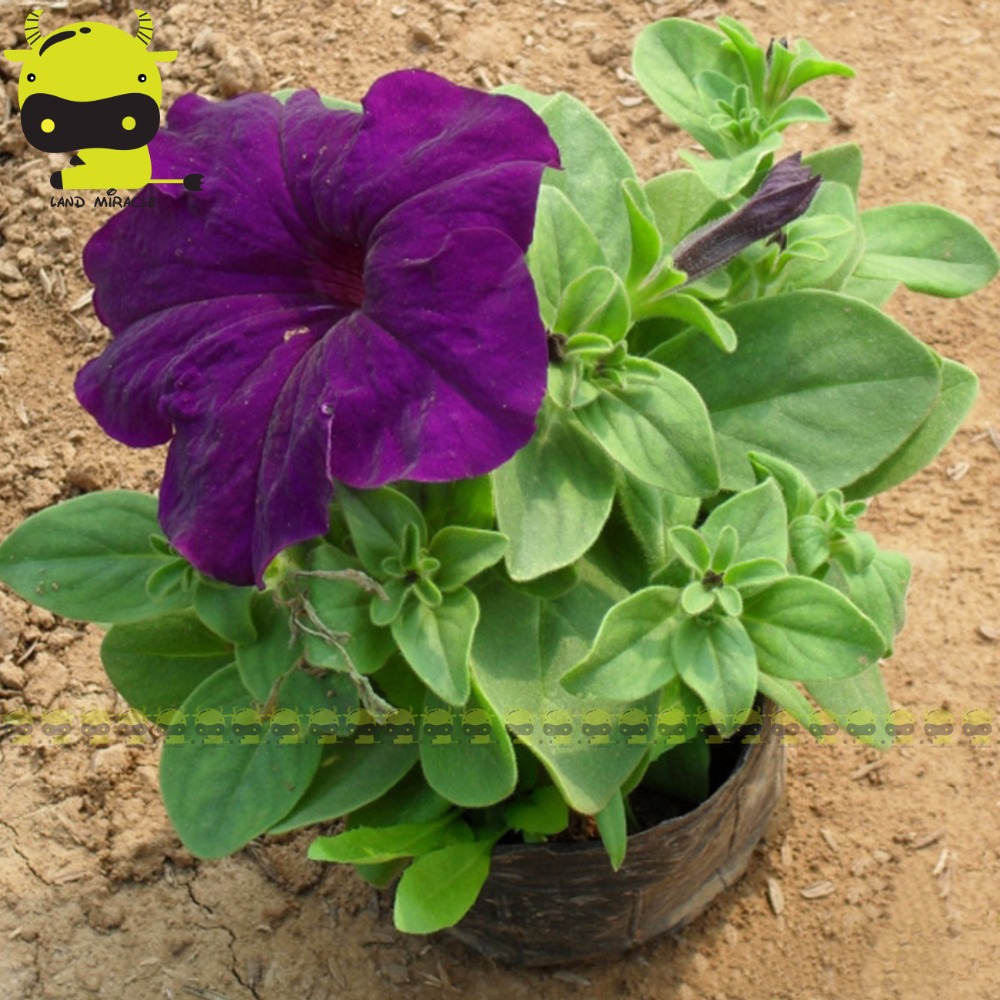 10seeds Purple Corrugated Double Morning Glory Heirloom Garden