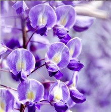 100% Genuine 30pcs/bag Purple Wisteria Flower Seeds for DIY home garden