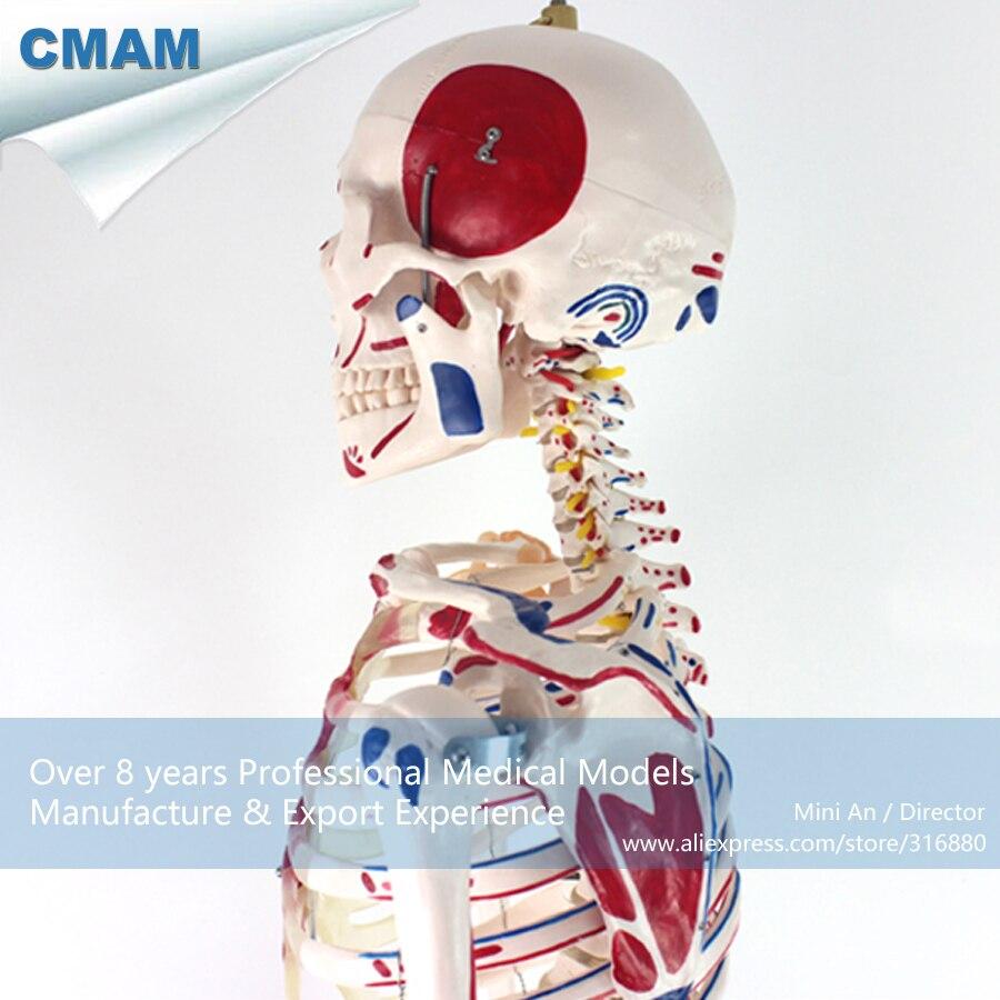 12363 CMAM SKELETON03 170cm Human Skeleton Model w Ligament Muscle ...