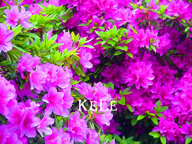 Japanese azalea seeds flower seeds  bonsai  home garden