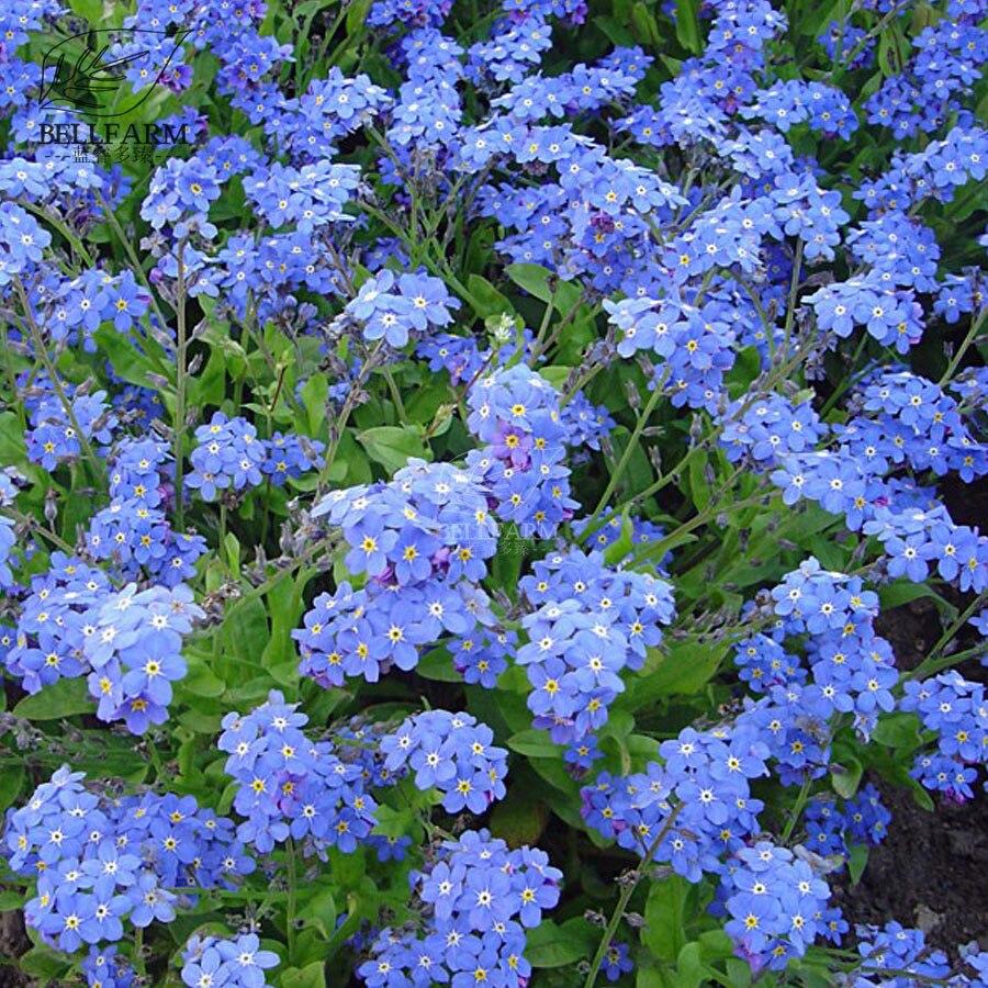 Bellfarm Bonsai Myosotis Sylvatica Blue Forget Me Not Bluesylva