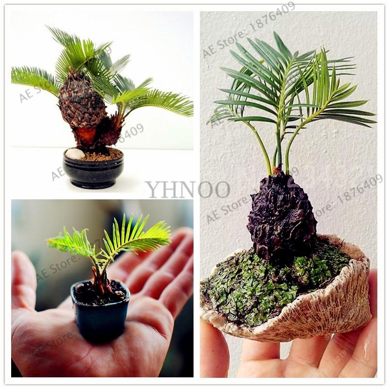 10 unids bolsa en maceta cycas semillas perenne planta for Planta perenne en maceta de invierno