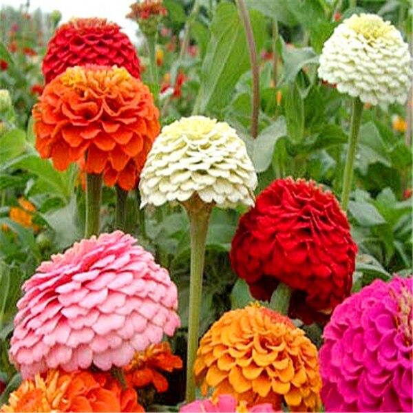 30 Zinnia Seeds, Indoor Plants Flowers New Arrival Diy Home Garden