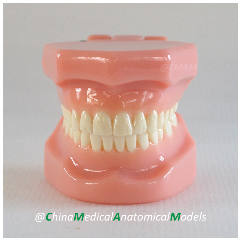 13026 DH203 Dentist Demo Oral Dental Orthodontic Model, China Medical Anatomical Model dh202 2 dentist education oral dental ortho metal and ceramic model china medical anatomical model