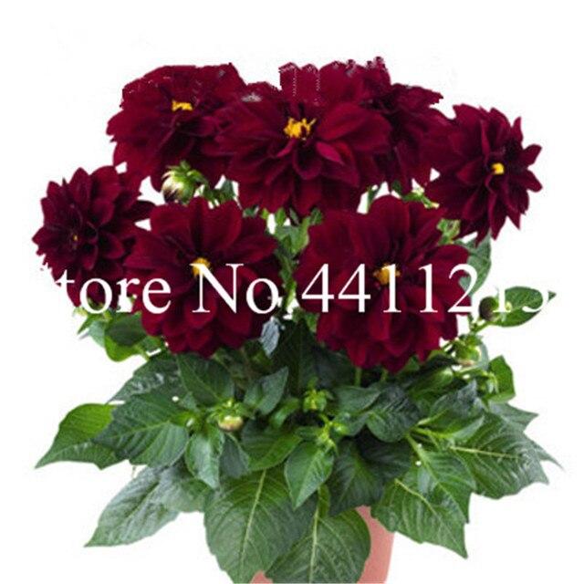 100 pz Multi-color dahlia dahlia Bonsai, dalia fiore planta, outdoor Albero di Charme Bonsai Fiore per la casa giardino vaso da fiori