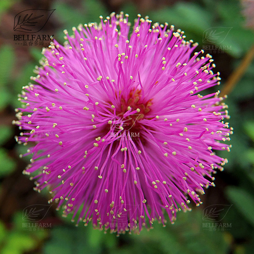 Bellfarm 6 colors yellow pink red mimosa pudica bonsai flowers bellfarm 6 colors yellow pink red mimosa pudica bonsai flowers sensitive plant home garden bonsai high germination 20pcspack in bonsai from home garden mightylinksfo