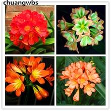 1 Pcs Rare Flower bonsai Plant Chinese Clivia Bonsai For Home Garden Lycoris Perennial