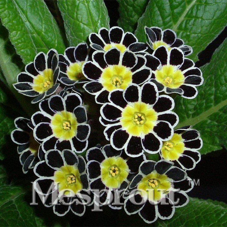 Hot sale promotion100pcs two color red white flower petals primula promotion100pcs two color red white flower petals primula seeds perennial flower seeds primula seeds for home garden mightylinksfo