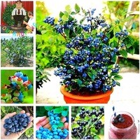 Hot-Sale-50pcs-Blueberry-Seeds-Tropical-Fruit-Trees-Seed-Outdoor-Garden-Potted-Summer-Blueberries-Fruit-tree.jpg_200x200
