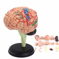 4D Anatomical Human Brain Model Anatomy Medical Teaching Tool Toy Statues Sculptures Medical School Use 7