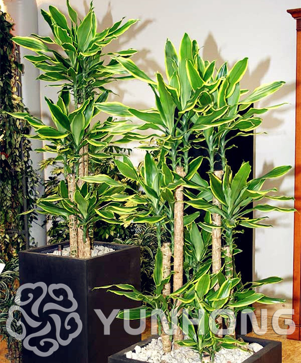 10 Pieces A Bag Sago Cycas Bonsai Potted Balcony Planting Seasons Sprouting 95% (Dracaena Fragrans)