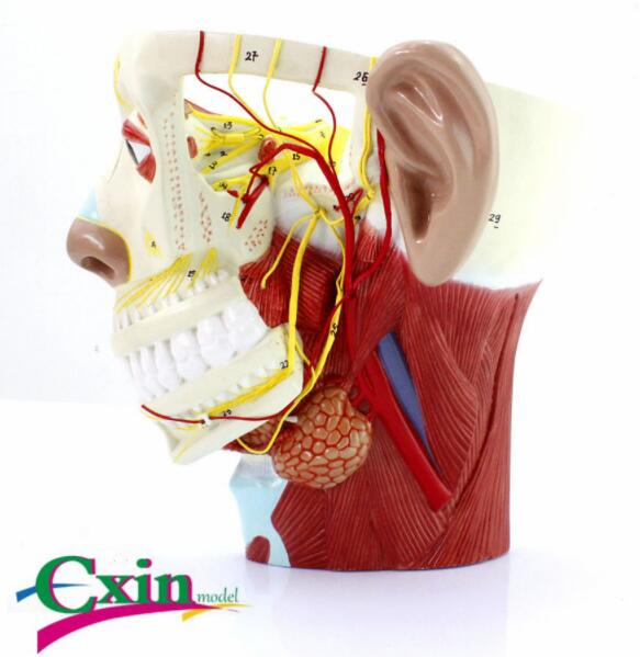 Head nerve model ENT and cosmetic surgery models Neurology modelHead nerve model ENT and cosmetic surgery models Neurology model