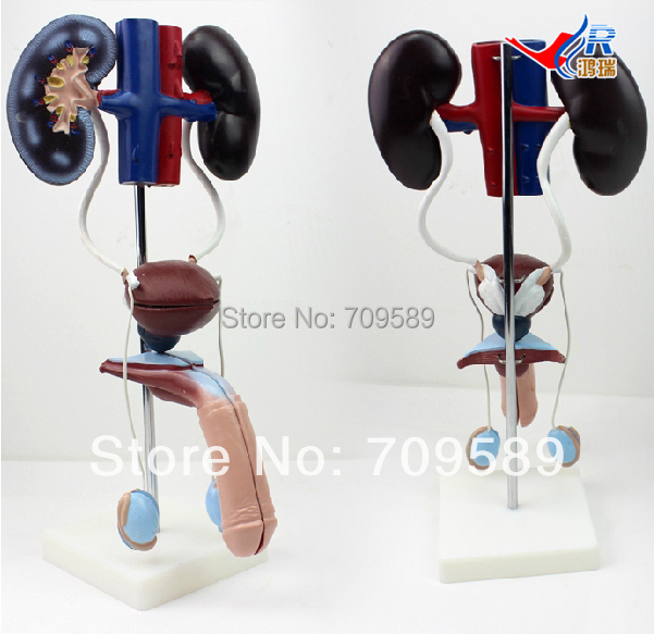 ISO Anatomical Model of Urinary system, Male Urogenital System Model human anatomical male genital urinary pelvic system dissect medical organ model school hospital