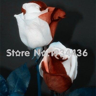 Mangel sjælden rød + hvide roser blomster bonsai plante i pot til hjem haven balkon 20 + pcs Gratis forsendelse