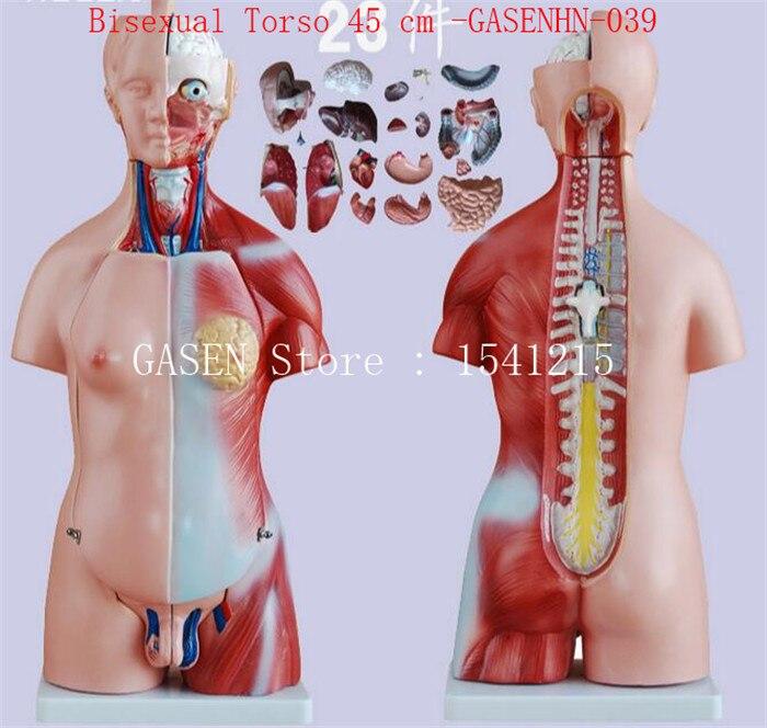 Tronc, poitrine femelle, tête globe oculaire cerveau nerf rachidien poumons coeur foie rein estomac bisexuel torse 45 cm-GASENHN-039