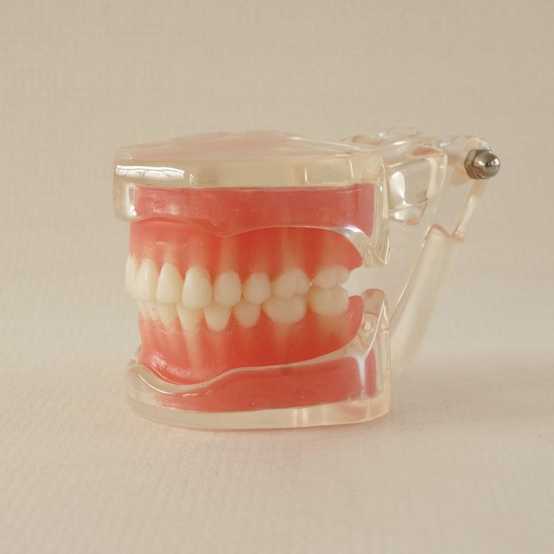 adulto typodon educação dentes modelo para dentista