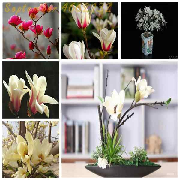10 pcs Dark Red Yulan Magnolia Grandiflora Portulaca Grandiflora bonsai Mixed Color Moss-Rose Purslane Double Flower plant