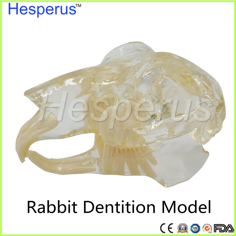 2017 Rabbit Dentition Model teeth skull jam teaching model Transparent anatomical model of Veterinary Medicine 2018 good quality dog dentition model the dog teeth skull jaw bone transparent solution planing teaching veterinary animal model