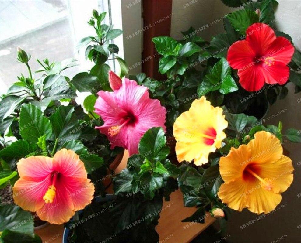 200pcsbag mini hibiscus flower seeds hibiscus seed bonsai flower 200pcsbag mini hibiscus flower seeds hibiscus seed bonsai flower chinese rose izmirmasajfo