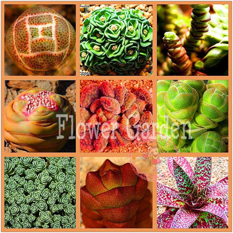 50 Rare Mix Lithops Seeds Living Stones Succulent Cactus Organic Garden  Bulk Seed,#6S99HQ