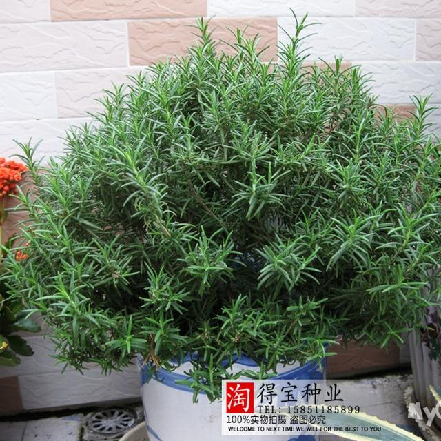 بيع روزماري حديقة شرفة داخلي بوعاء أربعة مواسم سهلة لزرع بونساي الفانيليا البحرية الندى 100 قطع