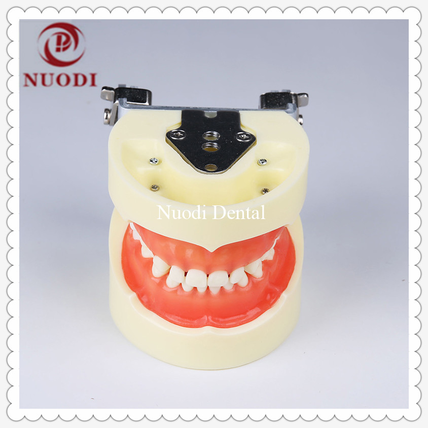 Education learning Child Teeth Model with Soft Gum Dental Tooth Model for kids Standard Children Dental