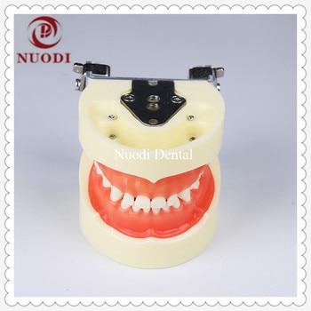 Education&learning Child Teeth Model with Soft Gum/Dental Tooth Model for kids/Standard Children Dental Study Teeth Model 24pcs