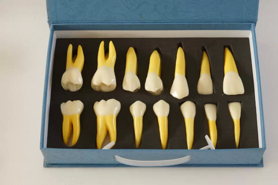 High Quality NEW 4 Times Permanent Anatomical / (Right 14) whole teeth model 2018 good quality 4 times permanent