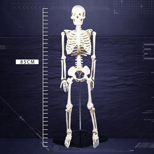 12366 / Free Shipping Basic 85cm Skeleton Human Anatomical Model12366 / Free Shipping Basic 85cm Skeleton Human Anatomical Model
