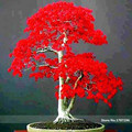 Potted plant seeds 20 PCS American blood red Maple Tree Seeds Bonsai Home & Garden Free Shipping