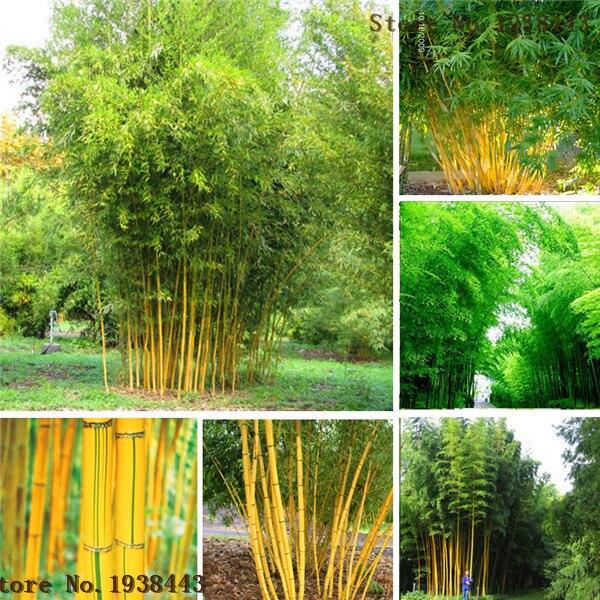 Bamboo seeds. Phyllostachys aureosulcata  Home Garden Plant seeds Garden Tree A1