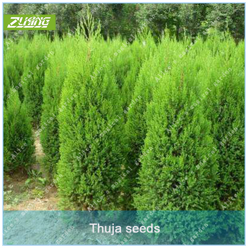 ZLKING 50 pcs Chinese Thuja Cypress Tree Bonsai Fresh Nature High Germination Rate Platycladus Plant Potted