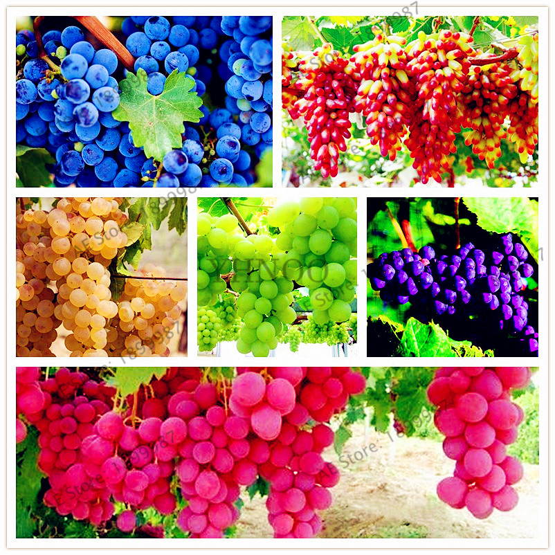 60pcs 13 Kinds Of Grape Plantas Garden  Bonsai Plant  Fruit ,sweet Delicious Rainbow Finger Red Grapes Plants