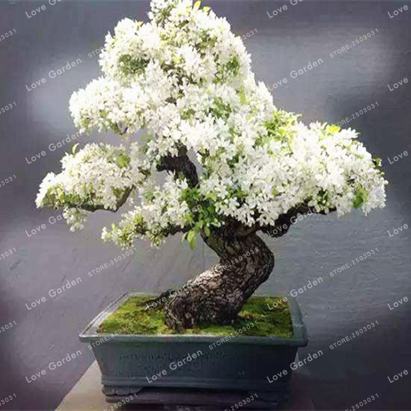 50 pcs purple white lilac seeds lilac clove seeds bonsai flower 50 pcs purple white lilac seeds lilac clove seeds bonsai flower seeds tree seeds potted plant for home garden in bonsai from home garden on aliexpress mightylinksfo