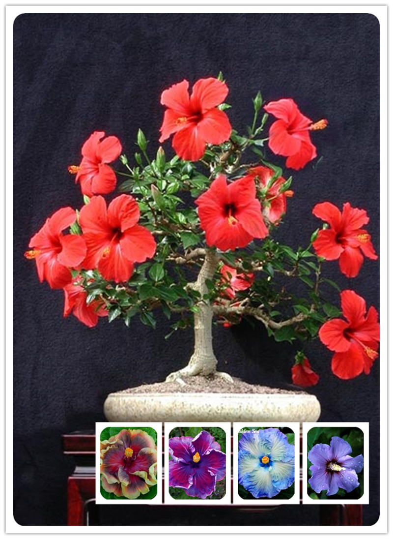 1000PC Giant Hibiscus Flower Seeds Hardy , 24 kinds, 24 Colors, | eBay
