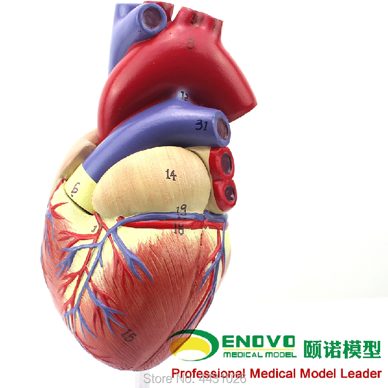 ENOVO 1. Human heart model B ultrasound ultrasound medical cardiology cardiac anatomy teaching model heart anatomy viscera medical model model of cardiac cardiac anatomy cardiovascular model of heart huma heart model gasen xz005