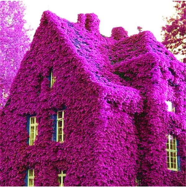Free Shipping 1000 Pcs Boston Rare Red, Blue Ivy Bonsai,Climbing Original Japanese Creeper Plants Anti-Radiation Diy For Garden