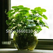 100 Water Plants Bonsai Raw Culture Horseshoe Gold Coins Grass Species Four Seasons Germinate Easily Potted Hydrocotyle Vulgaris
