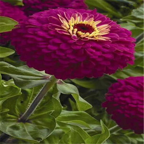 Promotion!24 Colors Zinnia bonsai Perennial Flowering Plants Potted Charming Chinese Flowers garden 100 Pcs/Pack