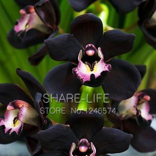 Семена чёрной орхидеи фото