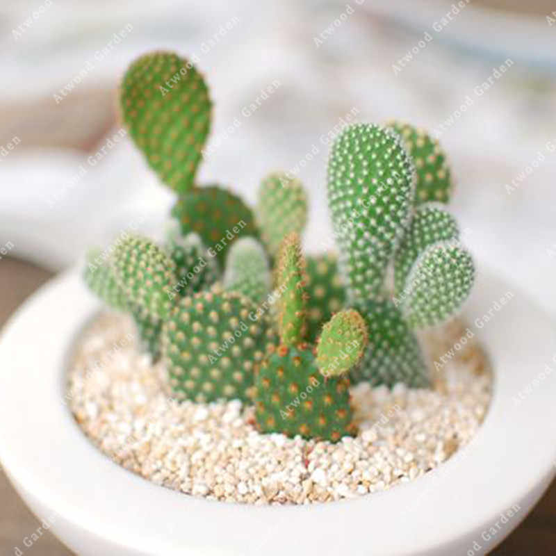 Zlking 100pcs Exotic Cactus Bonsai Purifying Air Perennial Lucky Plant Weird Indoor Decorations
