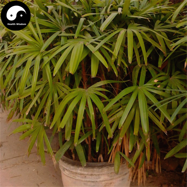 Buy Guanyin Bamboo Tree Semente 30pcs Plant Chinese Bamboo For